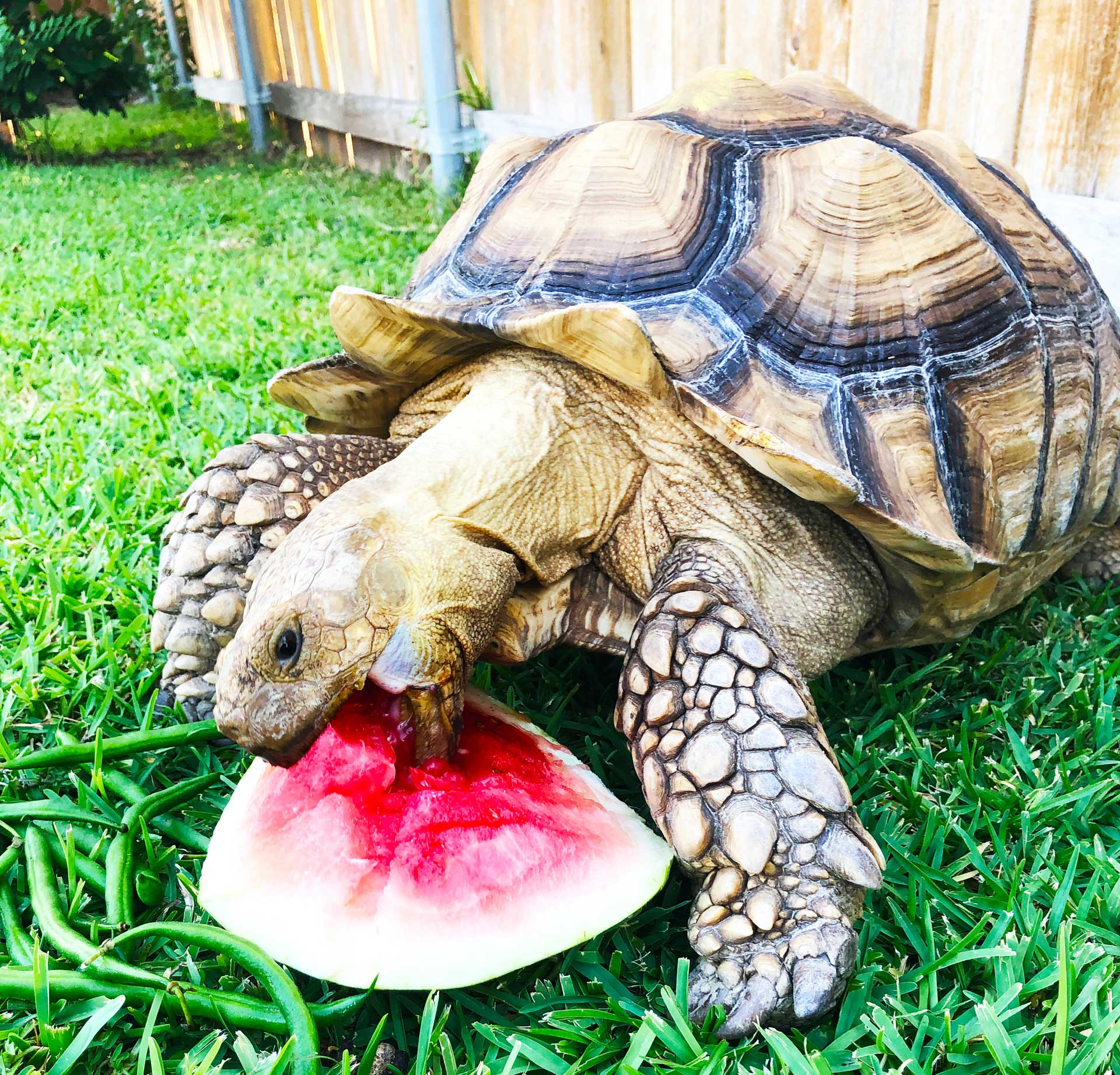 Woody the Tortious