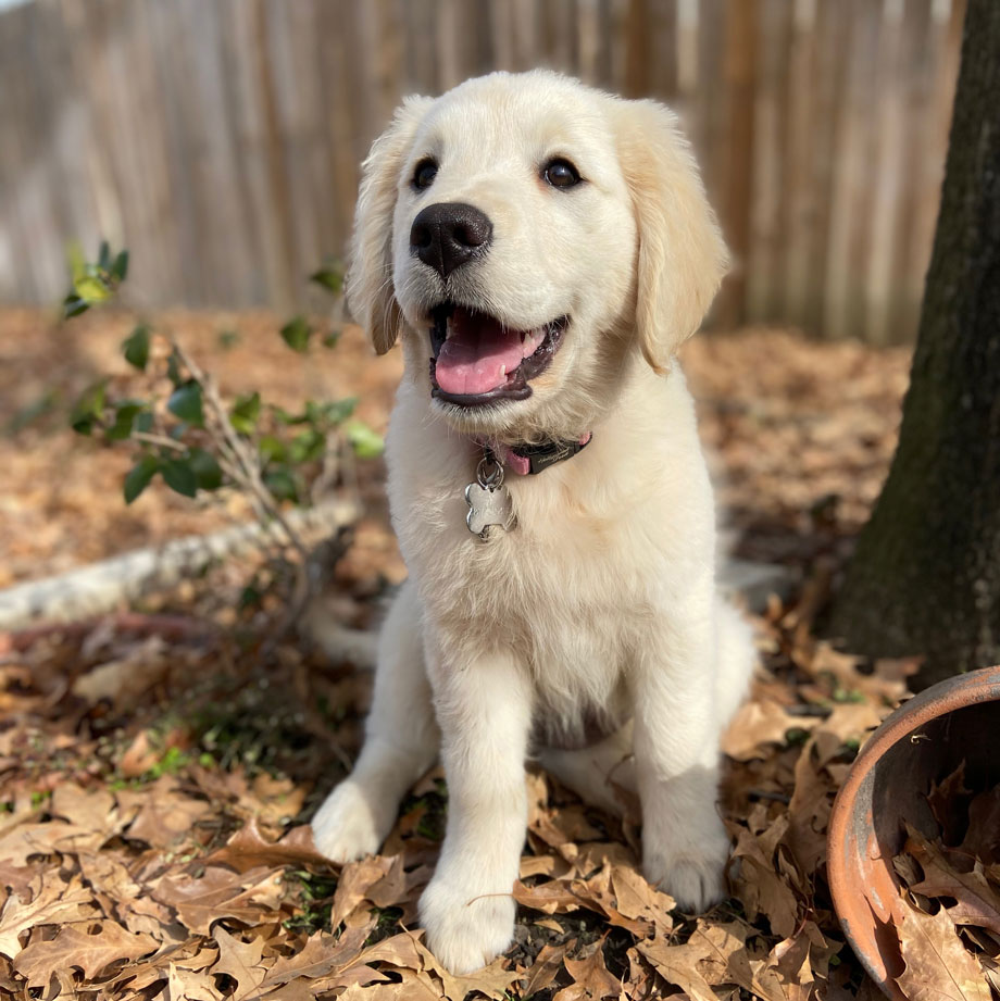 Ivy the Golden Retriever