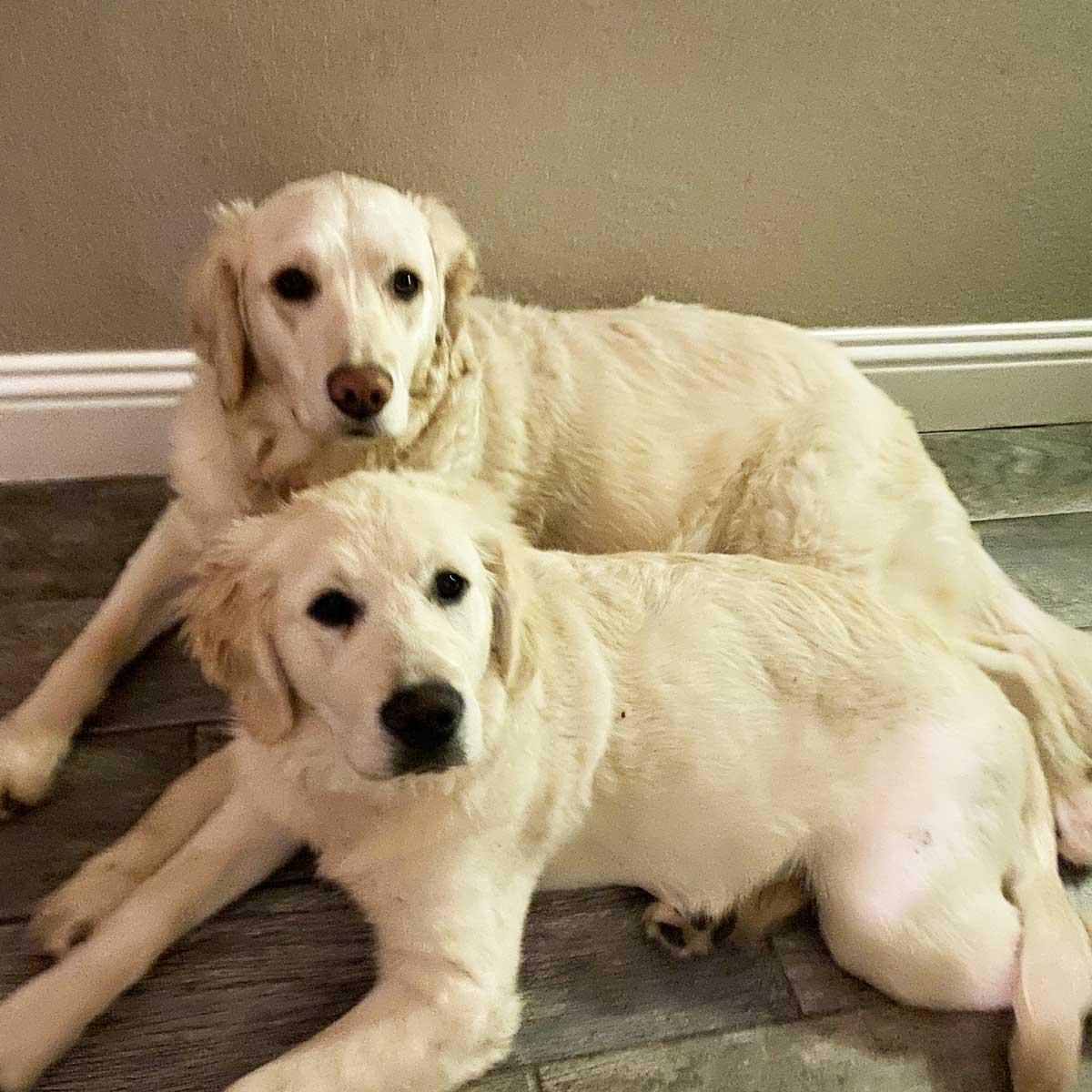 Ivy & Skye the Golden Retrievers