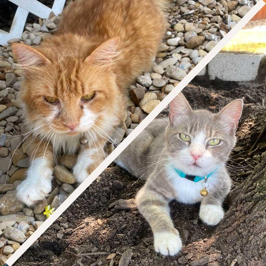 Sam & Simon the Therapy Cats
